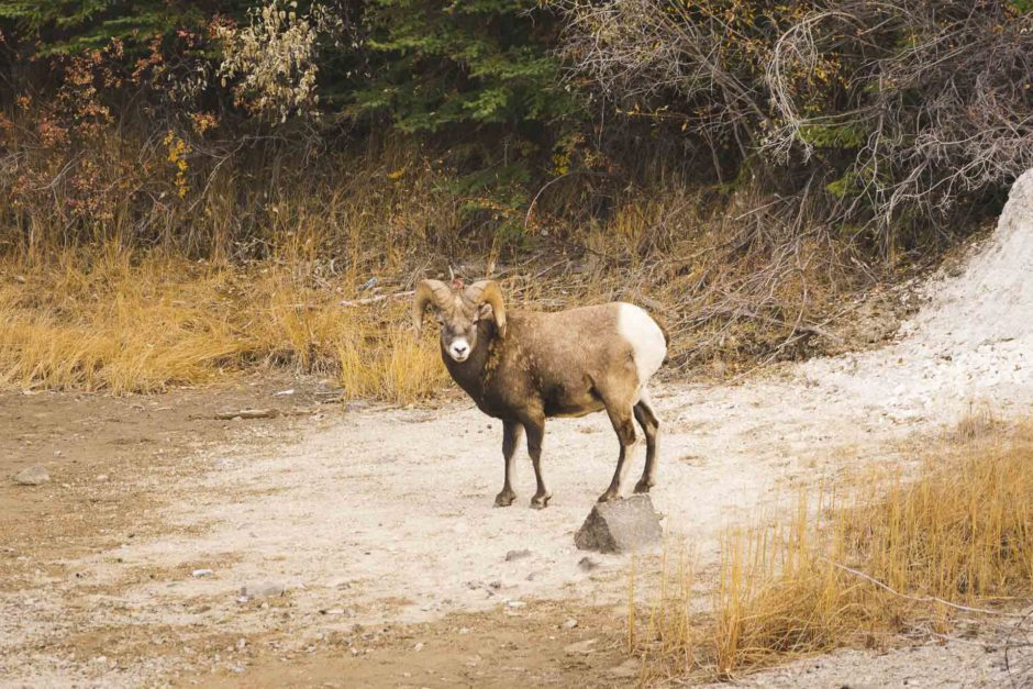 big horn sheep jasper