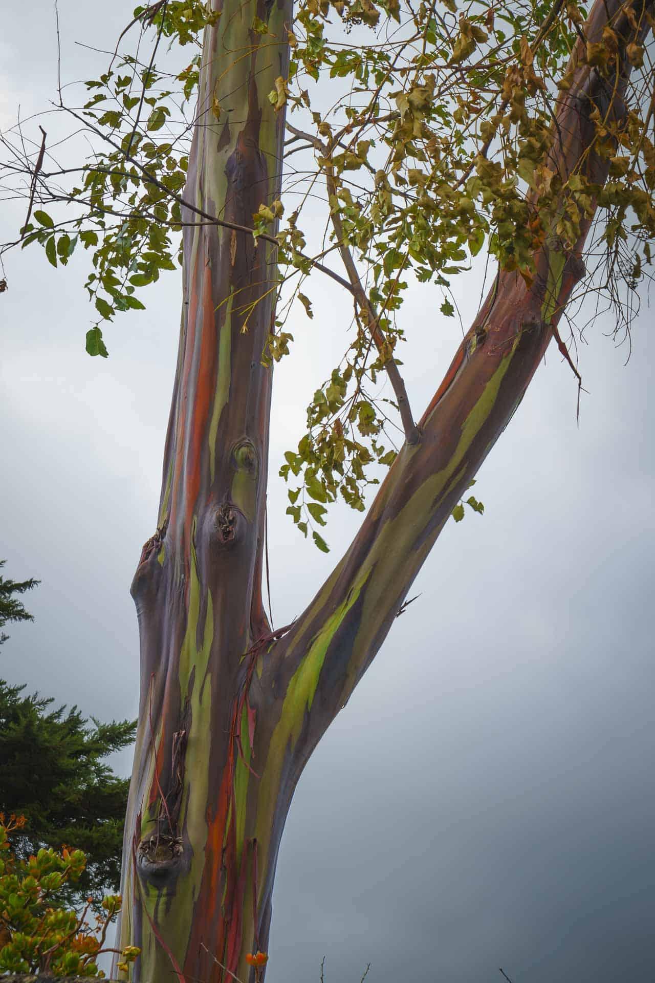 The Rainbow Trees of Maui