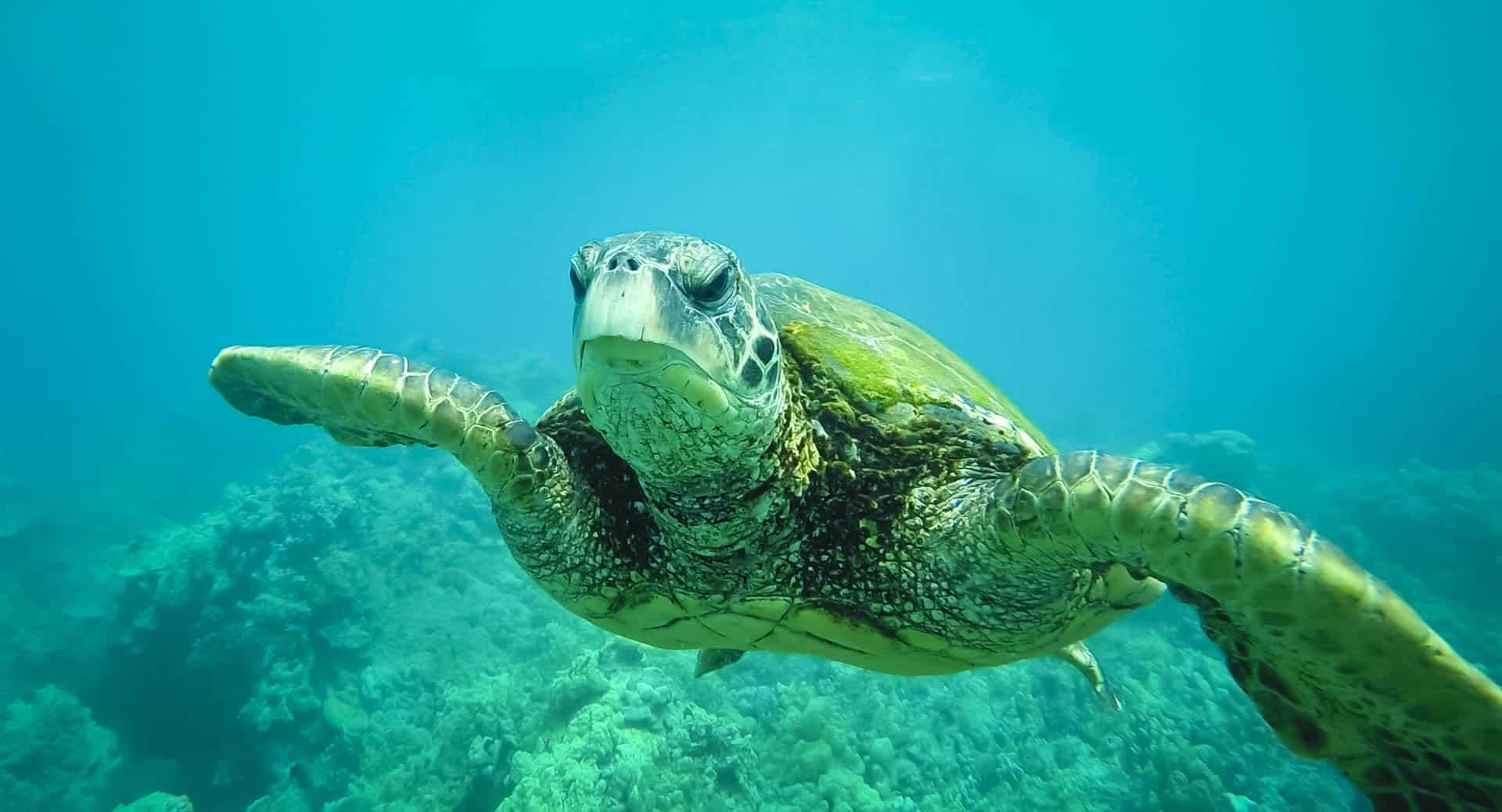 Snorkel with Sea Turtles in Maui