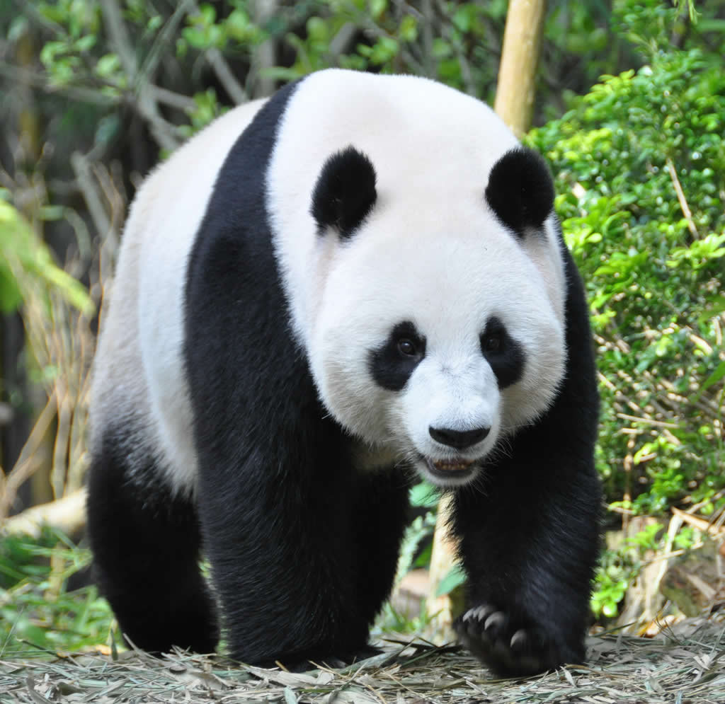singapore attractions panda at zoo
