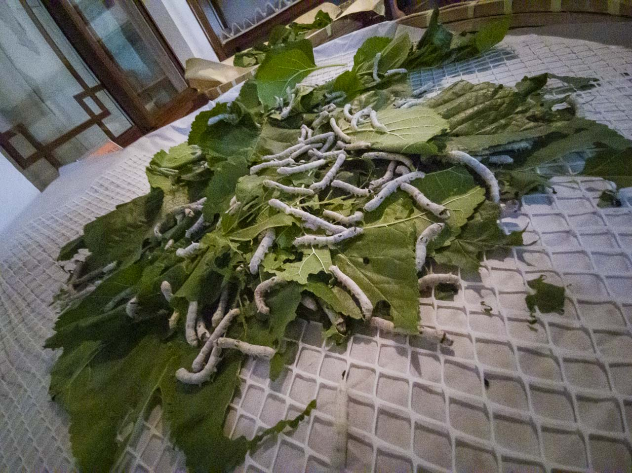 The Silk worms at the Silk Factory in China