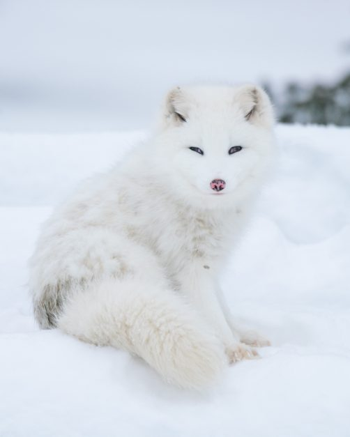 Arctic Fox in the Tundra