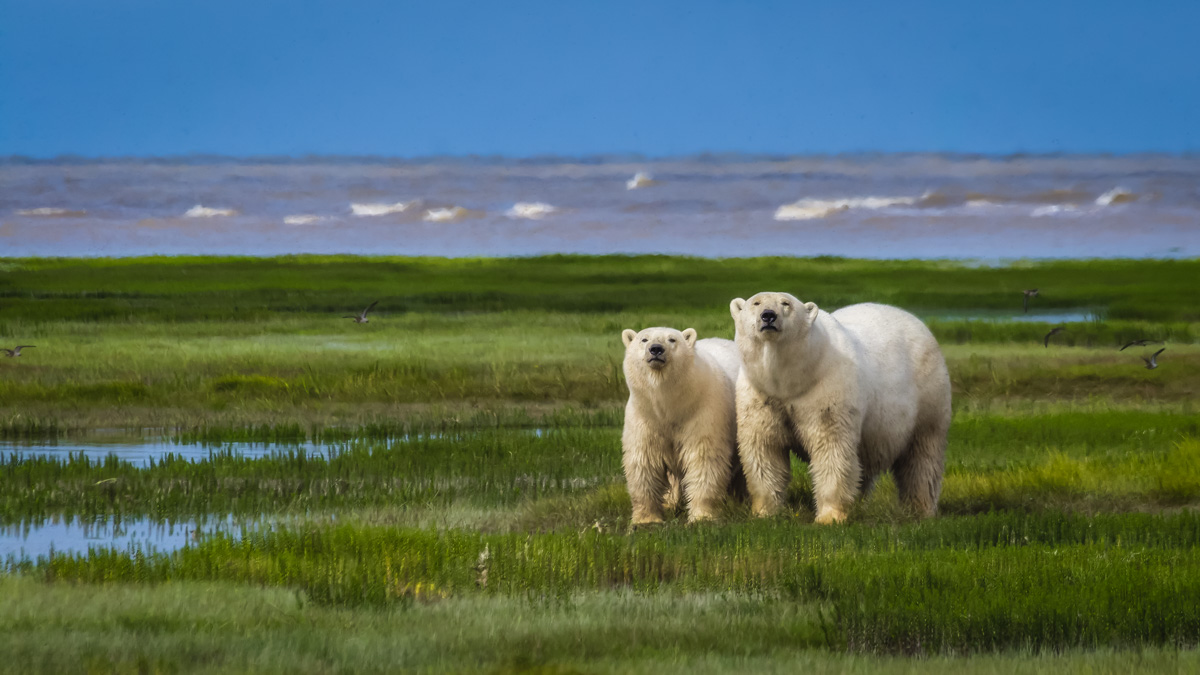 Arctic Animals of the Tundra Polar Bears