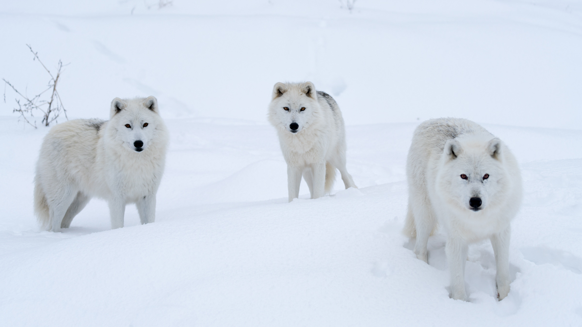 Tundra Animals Arctic Wolves