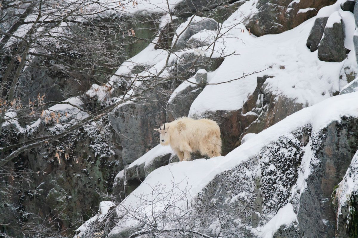 Mountain Goats are Tundra Animals