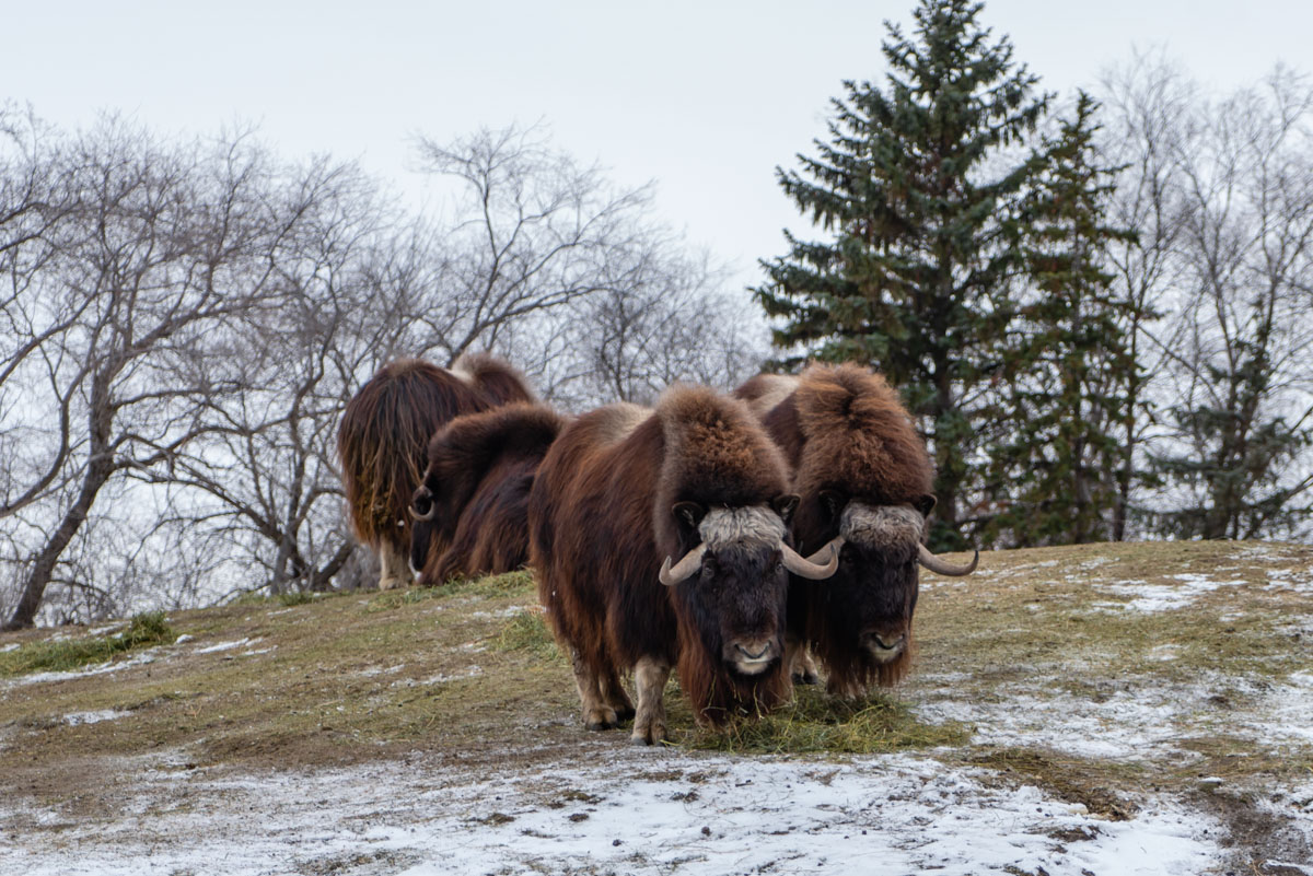 Muskox are tundra animals as well