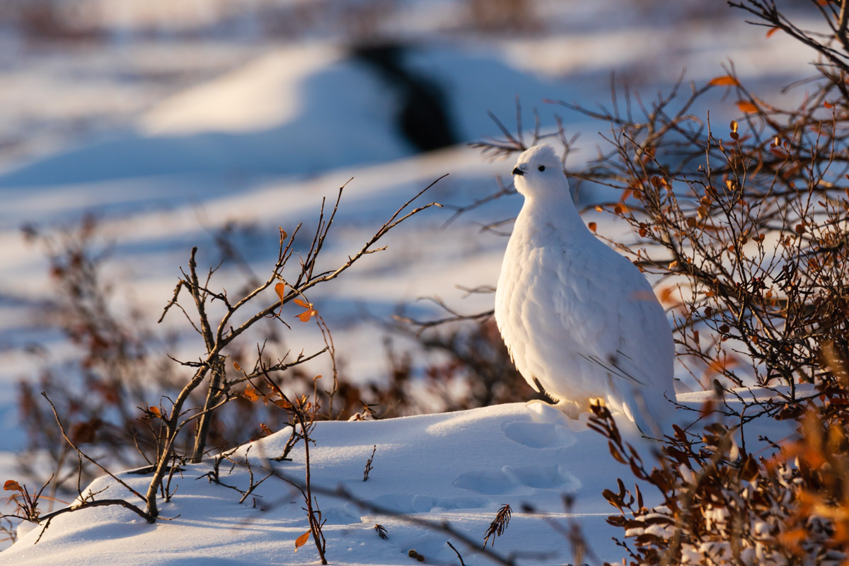 Rock Ptarmigan Tundra Animal