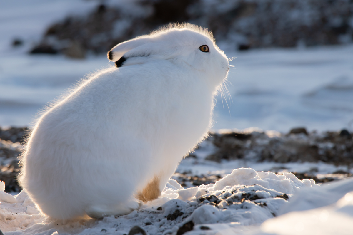 The Arctic Hare lives in the tundra