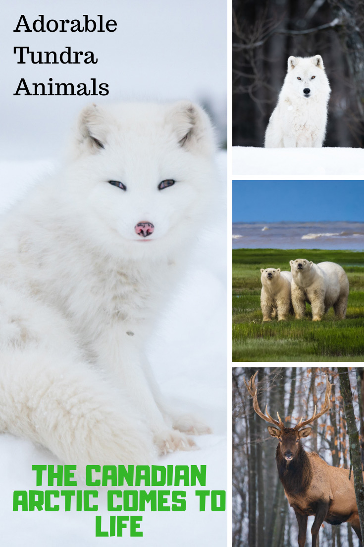 Tundra Animals in the Arctic