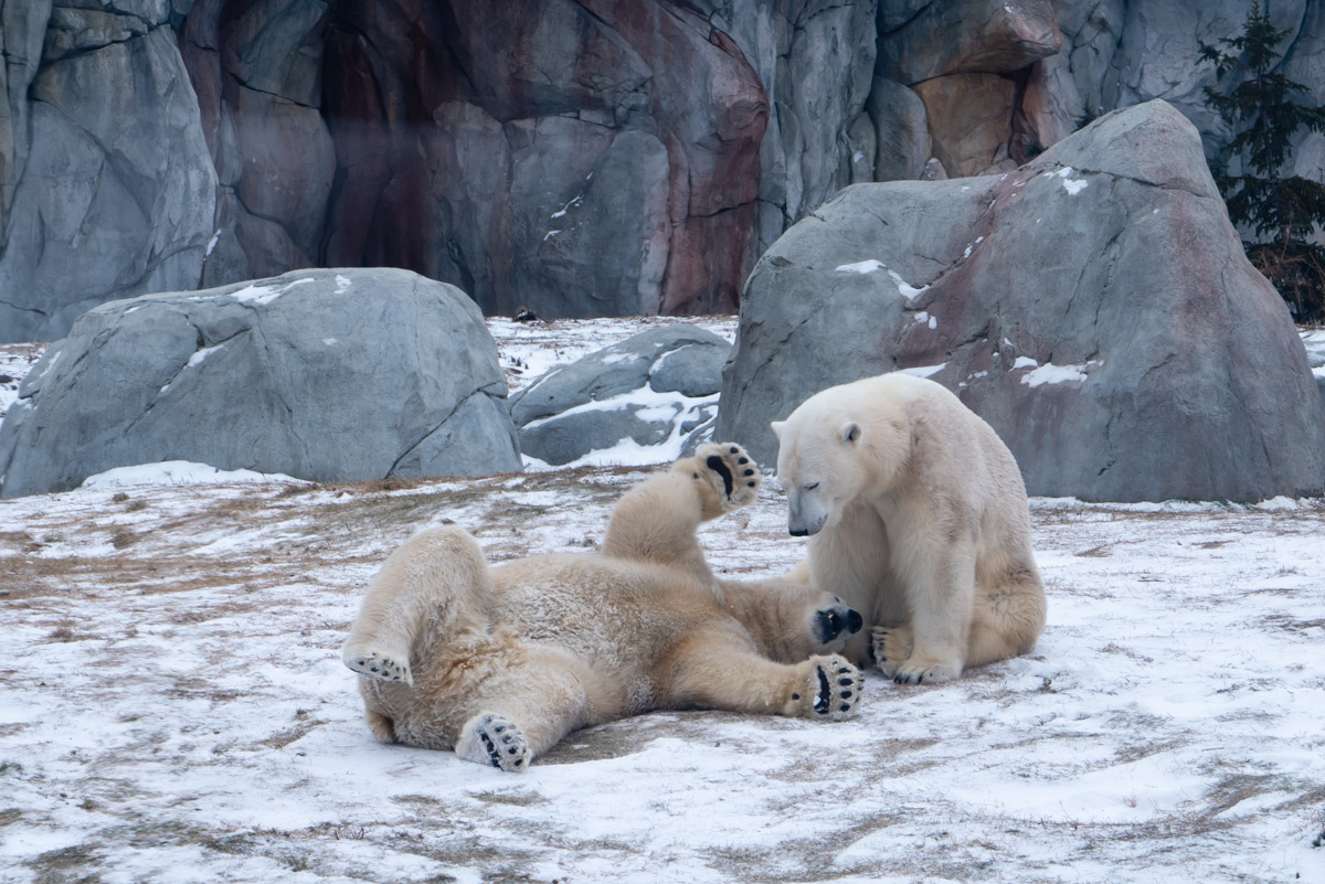 Polar Bears Tundra Animals