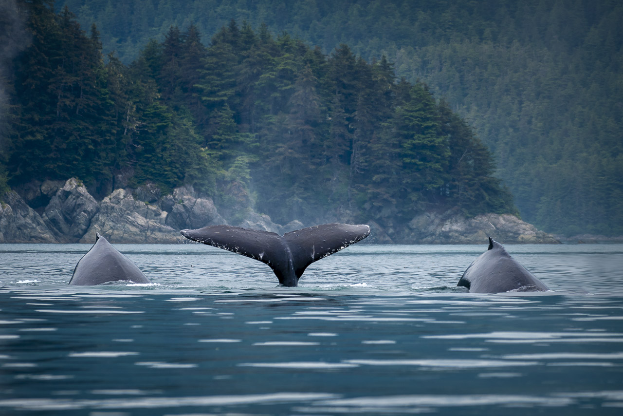 Humpback whales viewing from a skiff