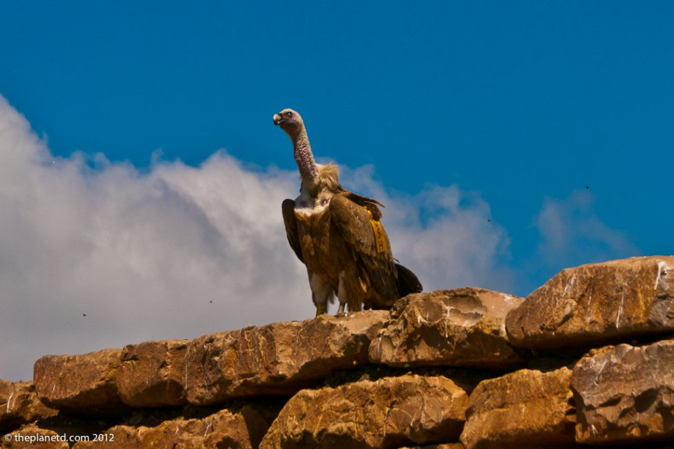 single vulture looking on in Spain