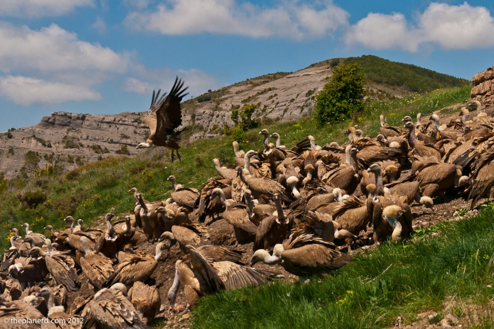 Wildlife Photography – Vultures in the Pyrenees