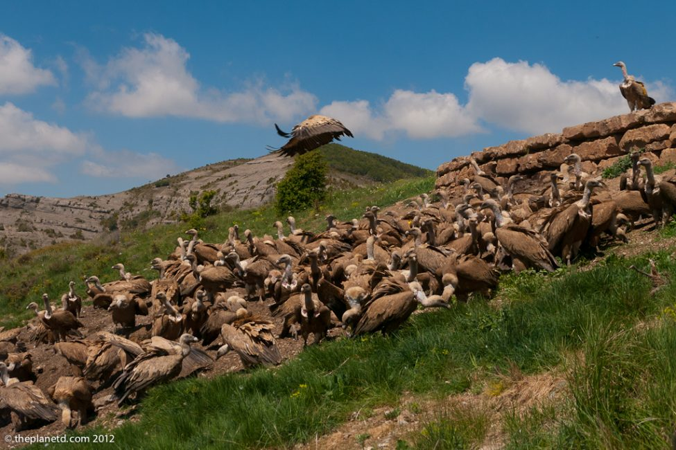 vultures feeding on side of hill in Spain