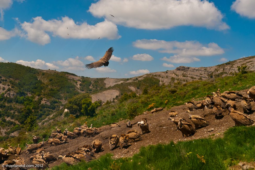 vultures flying conservation project