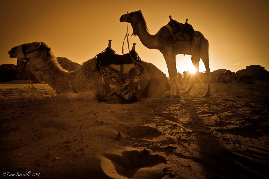 camels at sunset wadi rum