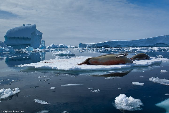 Weddell-seals-antarctica-1