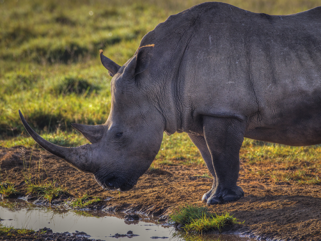 A white rhino in Lake Nakuru national park