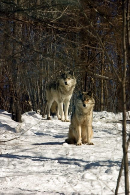 Grey wolves are Free to Roam the Woods