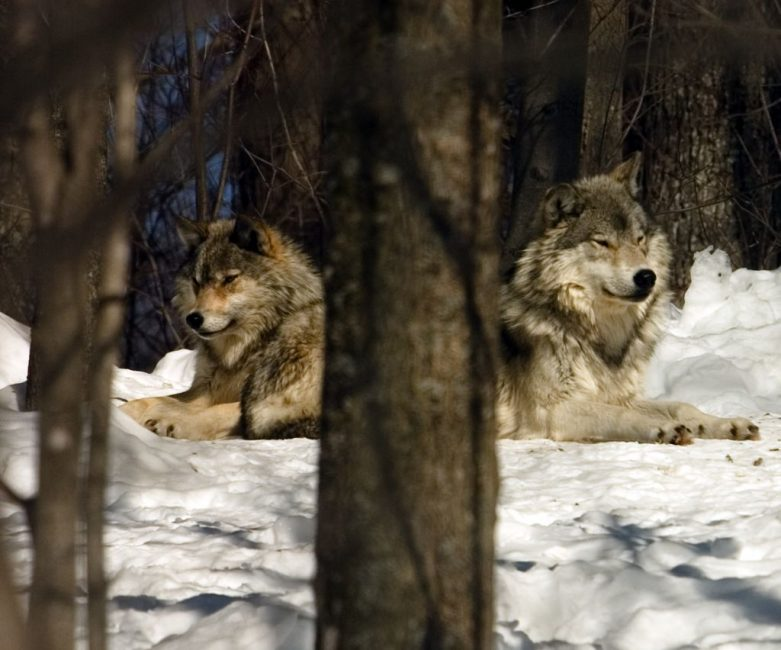 Grey Wolves Relaxing in the Haliburton Sanctuary