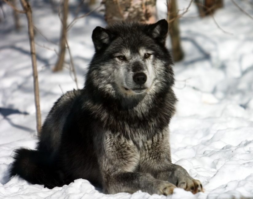 Grey wolf Alpha Male looking over Pack