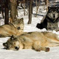 Winter-Wolves_20060303_166.jpg