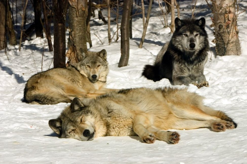 Grey Wolves Catching some Rays