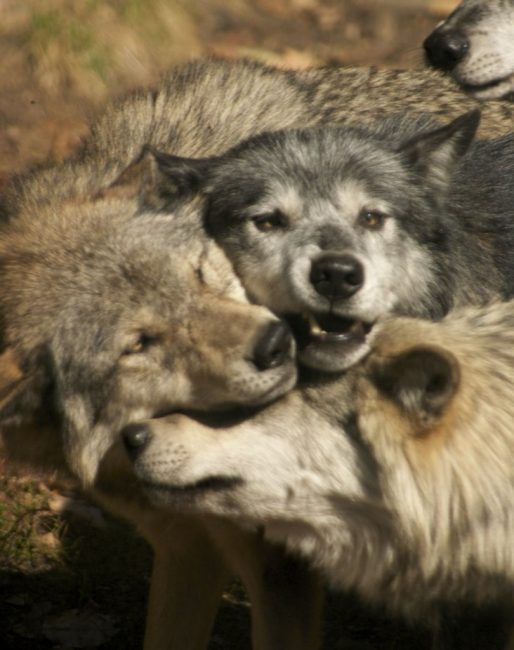 Some Cuddle Time with other Grey Wolves