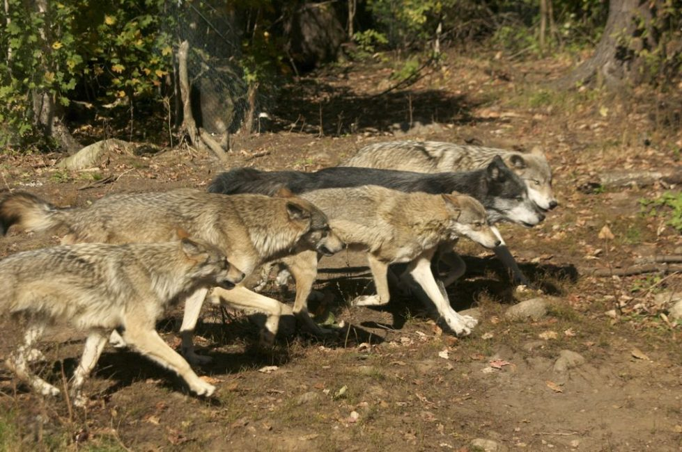 Meet the Grey Wolf Pack of Haliburton Forest