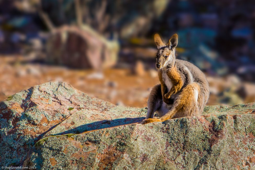 isolated places in australia | rock wallaby