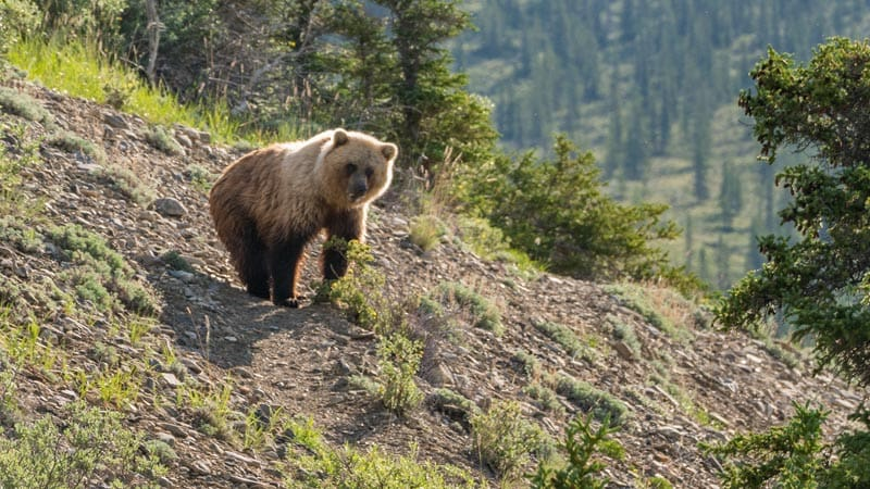 canada adventures see grizzly bears