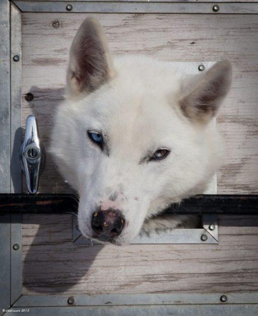 about skijoring white dog