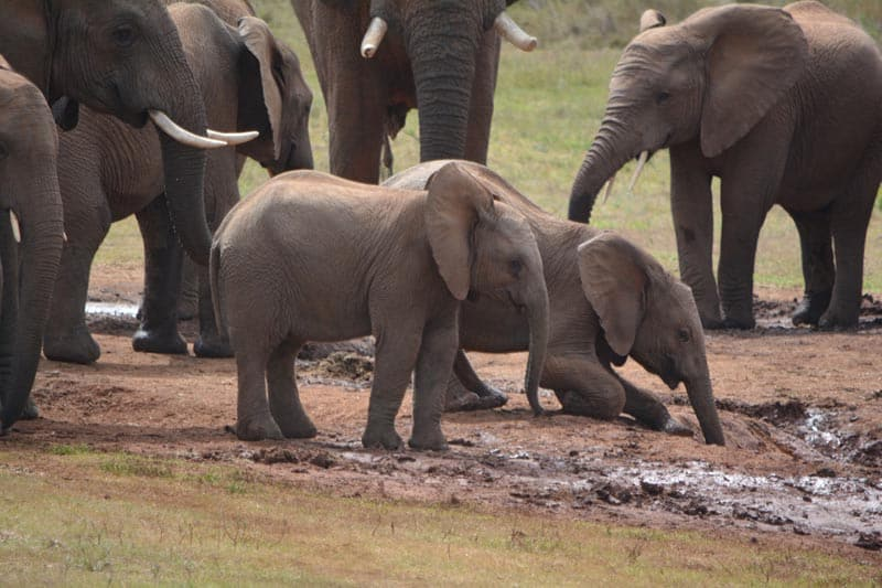 baby elephants in south africa addo park