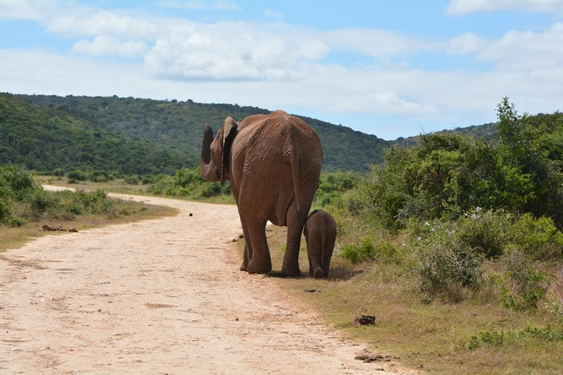 addo elephant park south africa | mother and baby