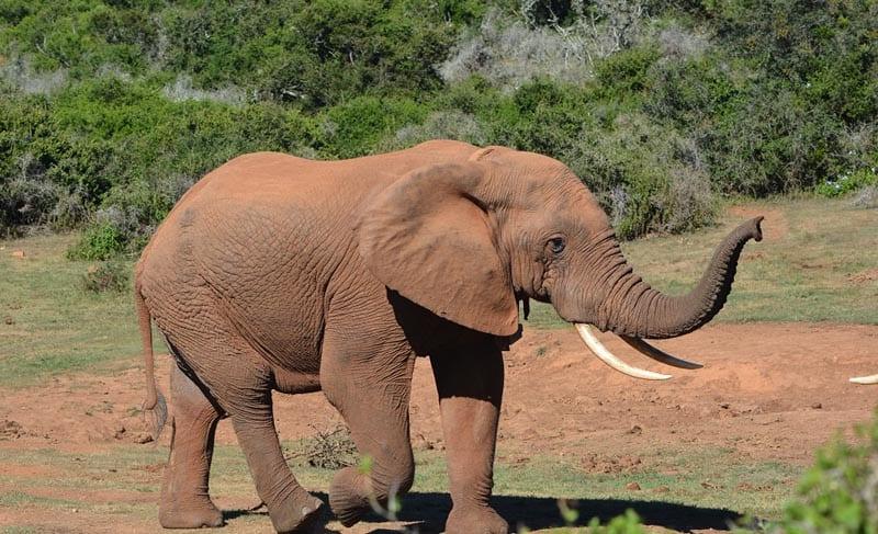 addonational park alpha male elephant