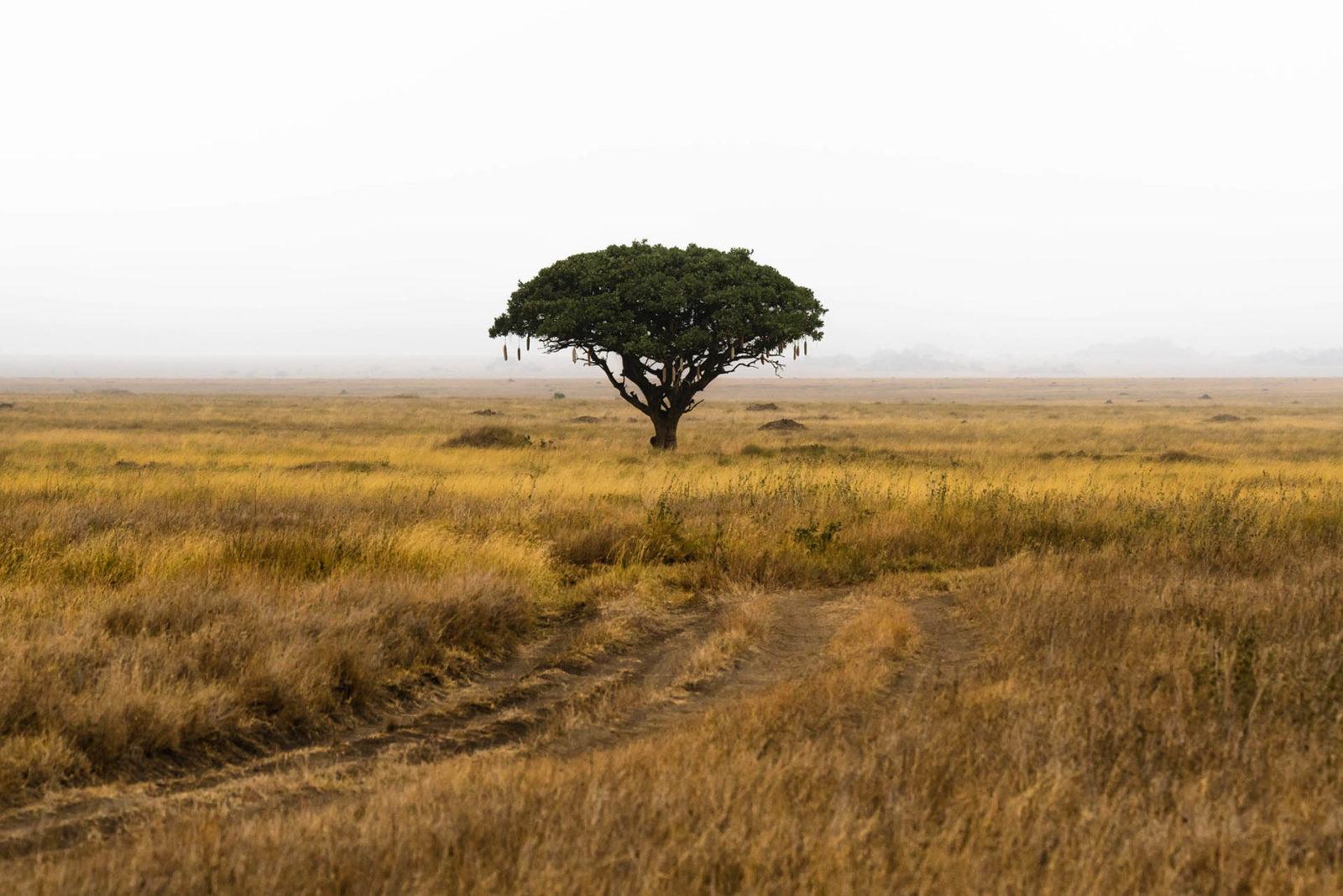 africa safari tree on savana