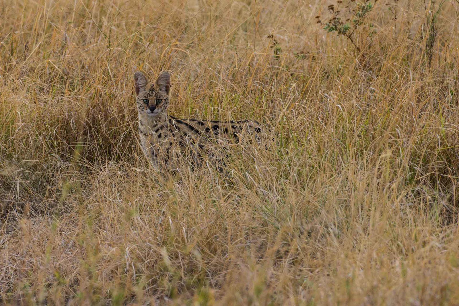 africa wildlife cat in grass