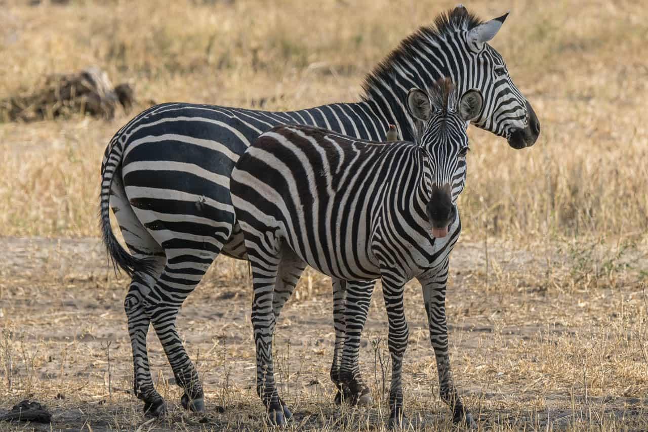 zebras common africa animals on safari
