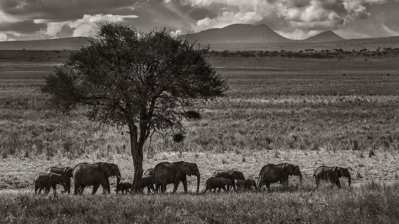 elephant procession in black and white