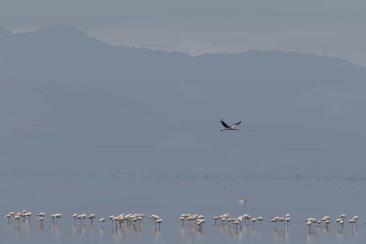 pelicans of lake manyara