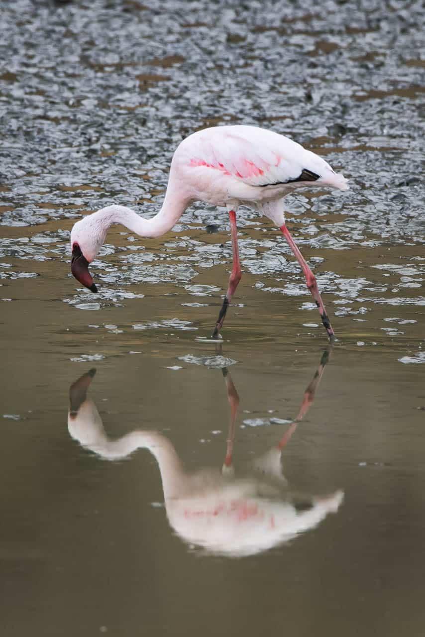 flamingo reflection africa