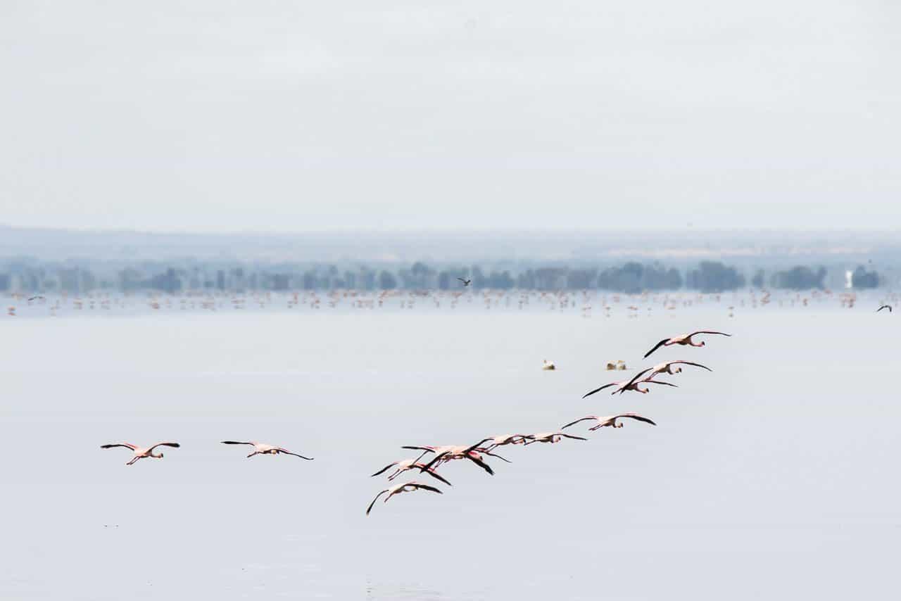 flamingos flying over lake manyara tanzania safari