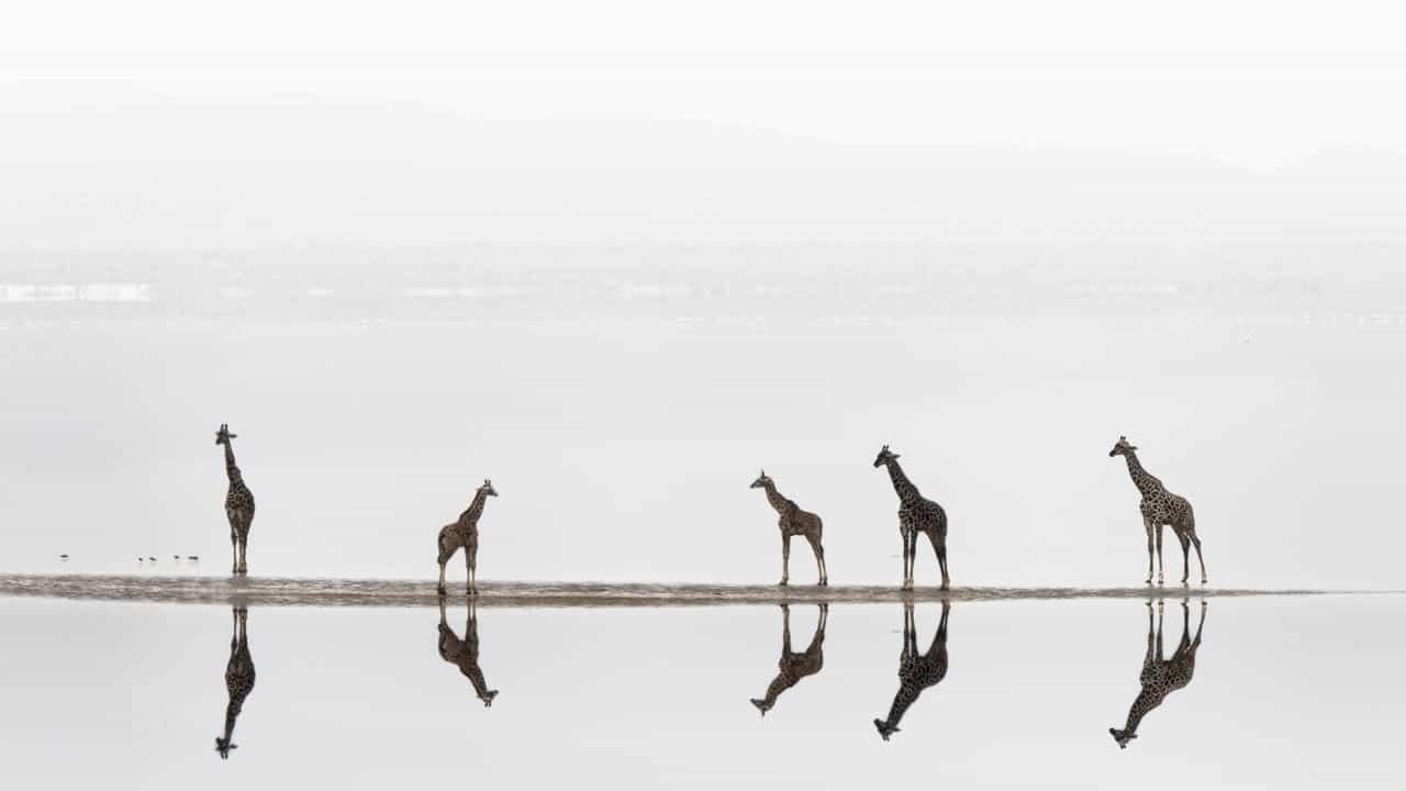 african wildlife giraffes on lake reflection