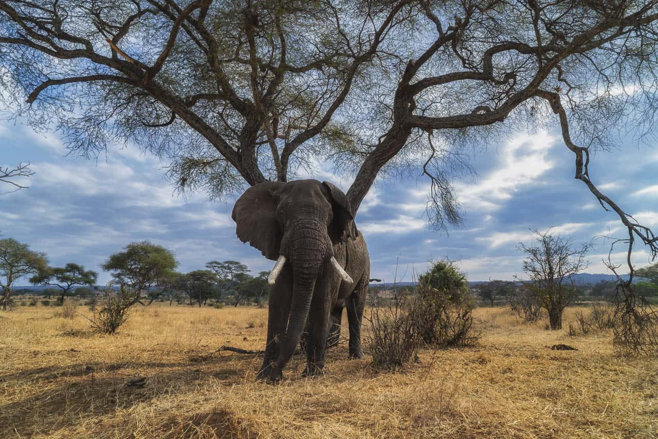 elephant africa animals
