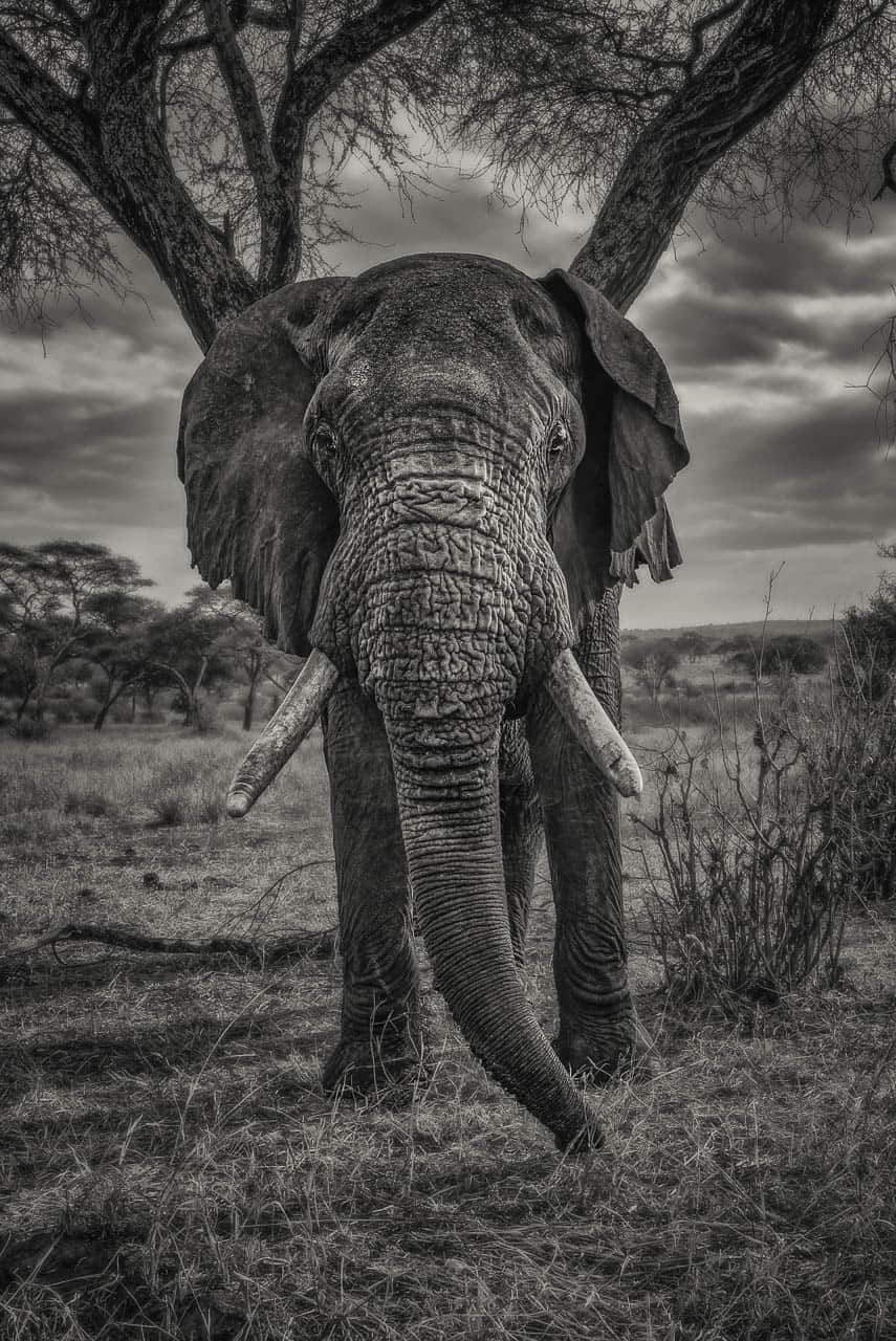 safari animals elephant in black and white