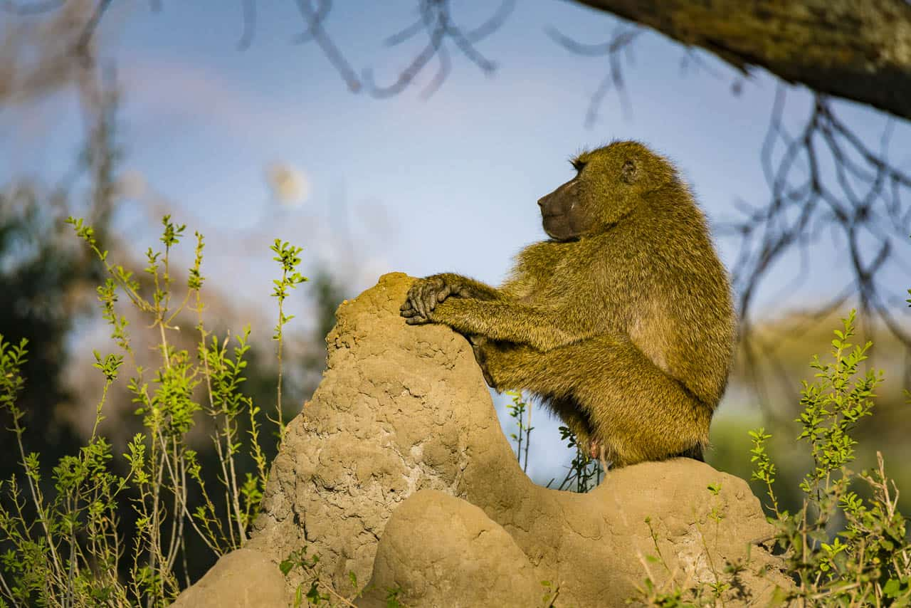 baboon sitting on termite mound