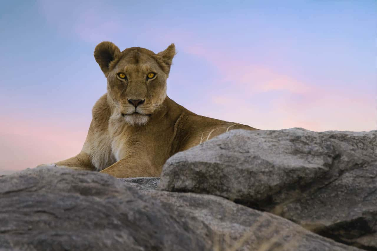 lioness on rock in serengeti