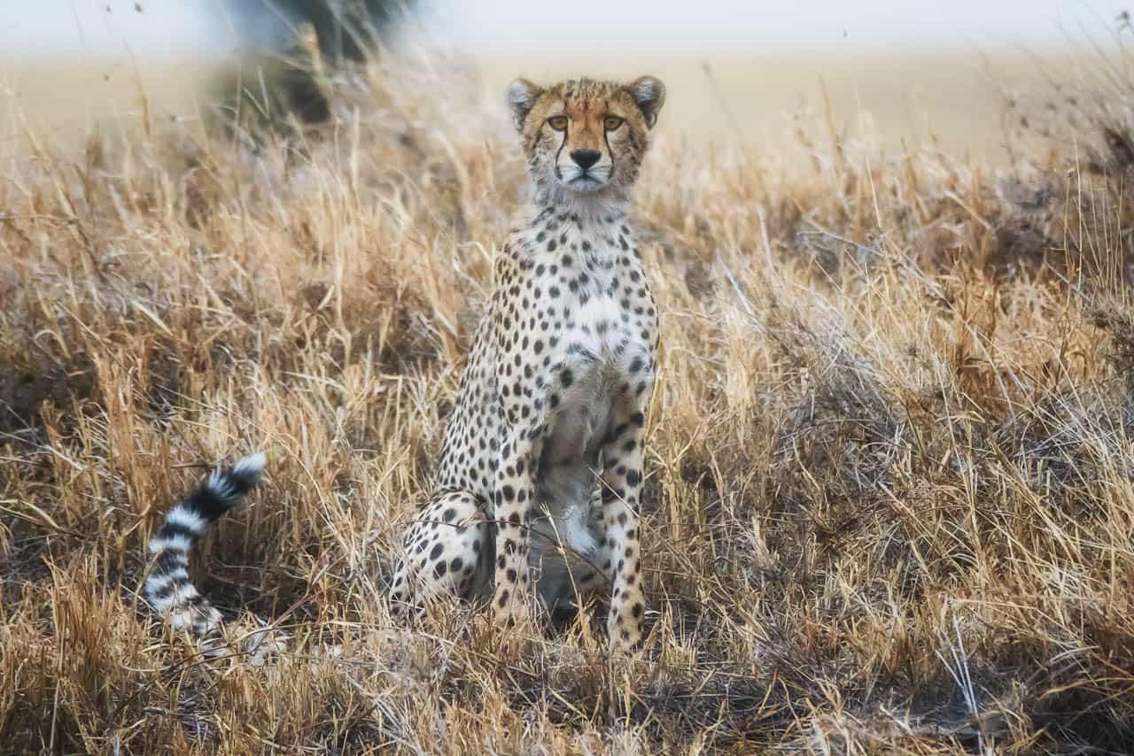 cheetah posing serengeti