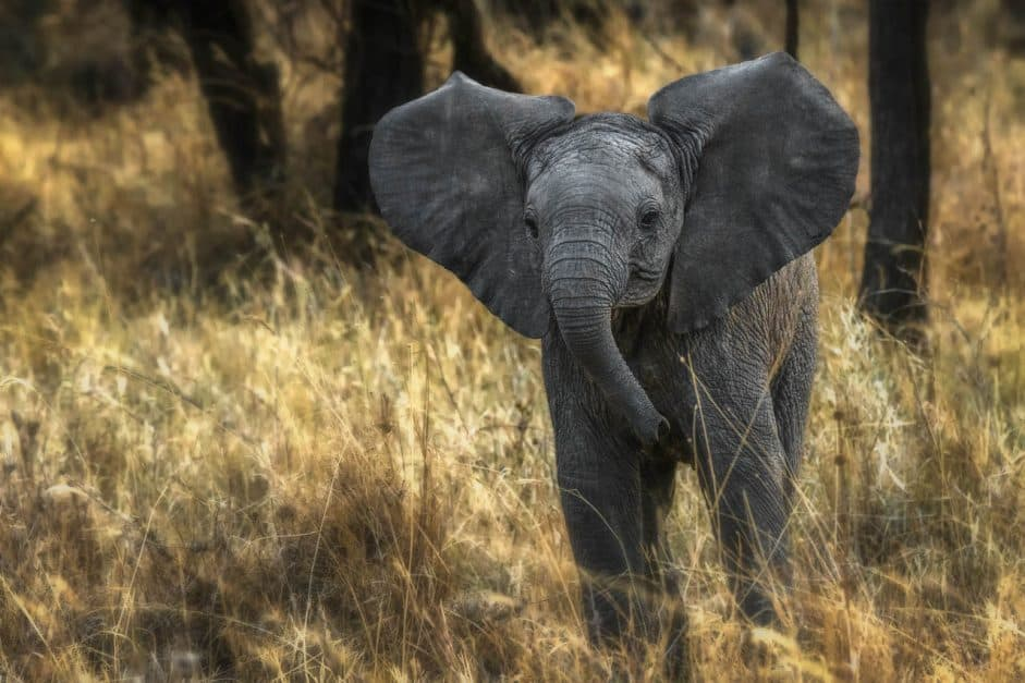 african-safari-animals-baby-elephant