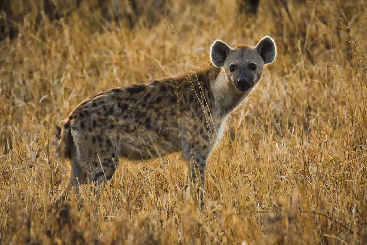 hyena on the seregeti in long grass